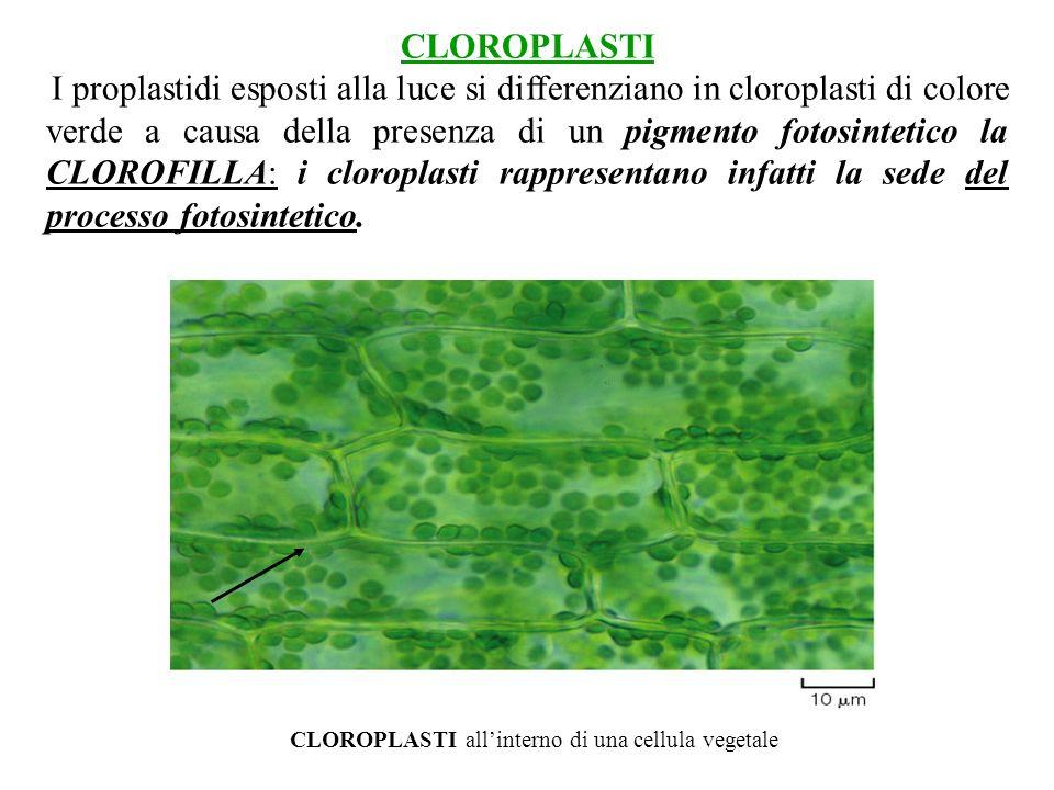 CLOROPLASTI I proplastidi esposti alla luce si differenziano in cloroplasti di colore verde a causa della presenza di un pigmento fotosintetico la CLO