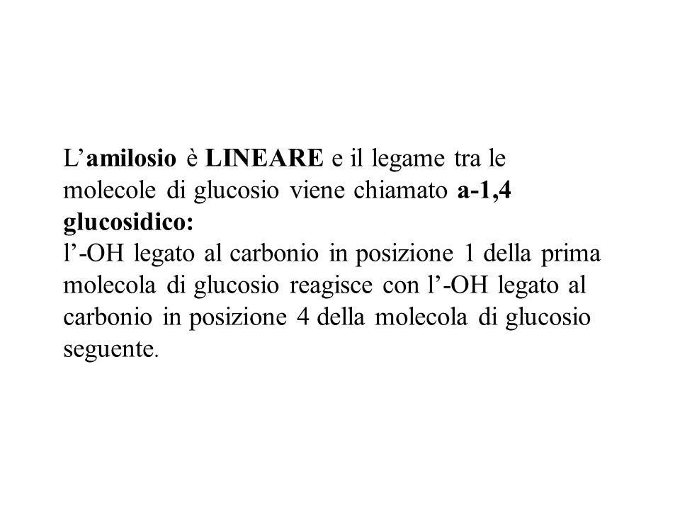 Lamilosio è LINEARE e il legame tra le molecole di glucosio viene chiamato a-1,4 glucosidico: l-OH legato al carbonio in posizione 1 della prima molec