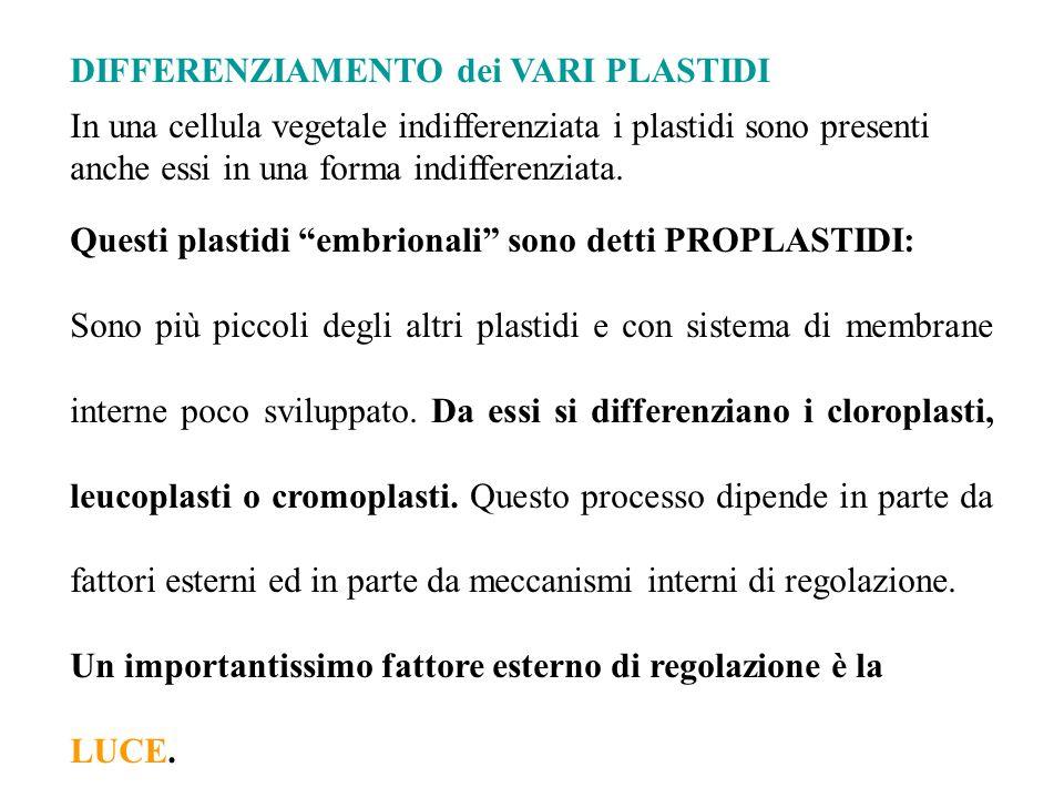 DIFFERENZIAMENTO dei VARI PLASTIDI In una cellula vegetale indifferenziata i plastidi sono presenti anche essi in una forma indifferenziata. Questi pl