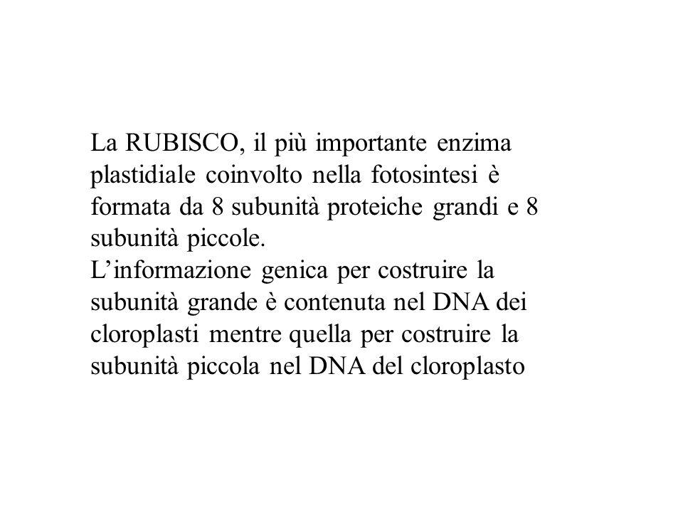 La RUBISCO, il più importante enzima plastidiale coinvolto nella fotosintesi è formata da 8 subunità proteiche grandi e 8 subunità piccole. Linformazi