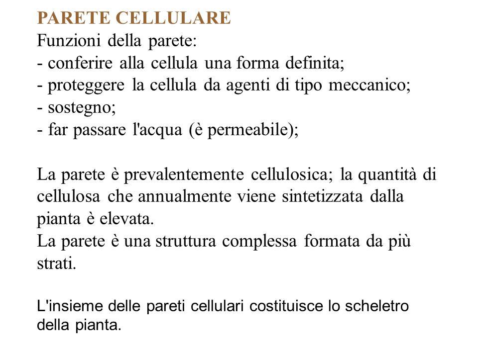 PARETE CELLULARE Funzioni della parete: - conferire alla cellula una forma definita; - proteggere la cellula da agenti di tipo meccanico; - sostegno;