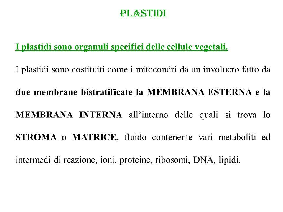 PLASTIDI I plastidi sono organuli specifici delle cellule vegetali. I plastidi sono costituiti come i mitocondri da un involucro fatto da due membrane