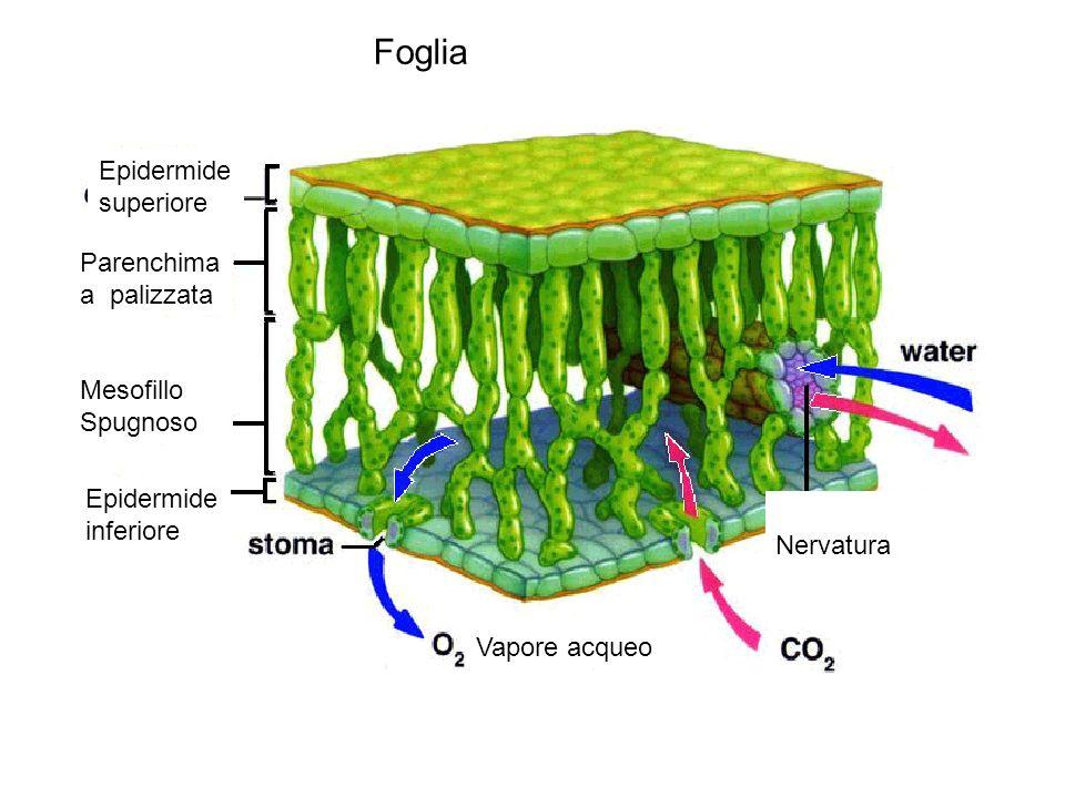 Epidermide superiore Parenchima a palizzata Mesofillo Spugnoso Epidermide inferiore Vapore acqueo Nervatura Foglia