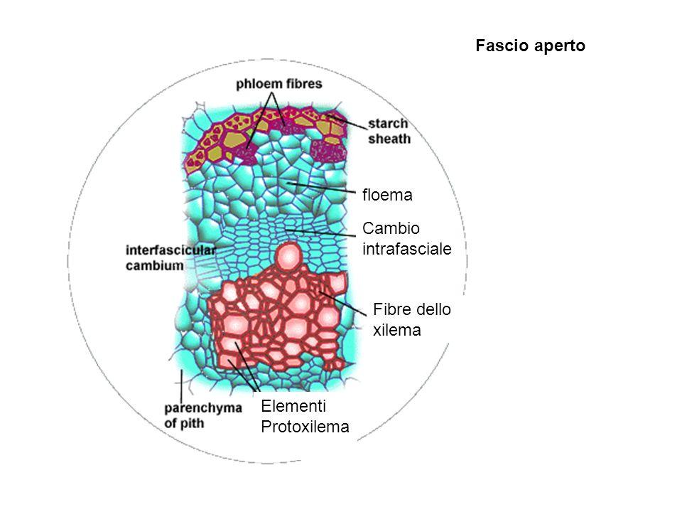 floema Cambio intrafasciale Fibre dello xilema Elementi Protoxilema Fascio aperto