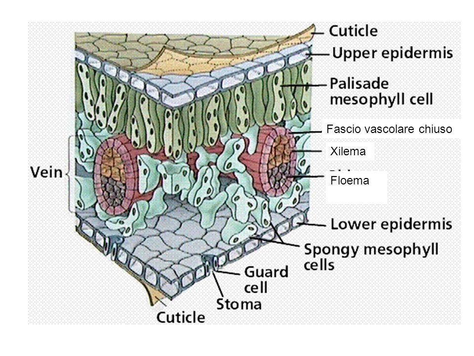 Xilema Floema Fascio vascolare chiuso