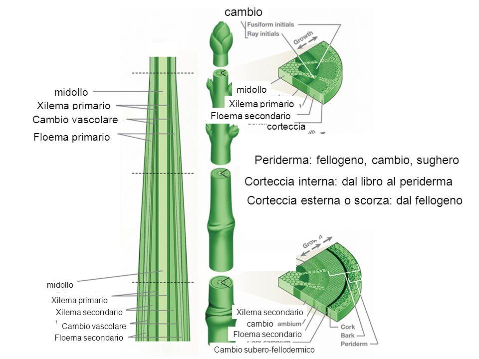 midollo Xilema primario Cambio vascolare Floema primario cambio midollo Xilema primario Floema secondario corteccia Corteccia interna: dal libro al pe