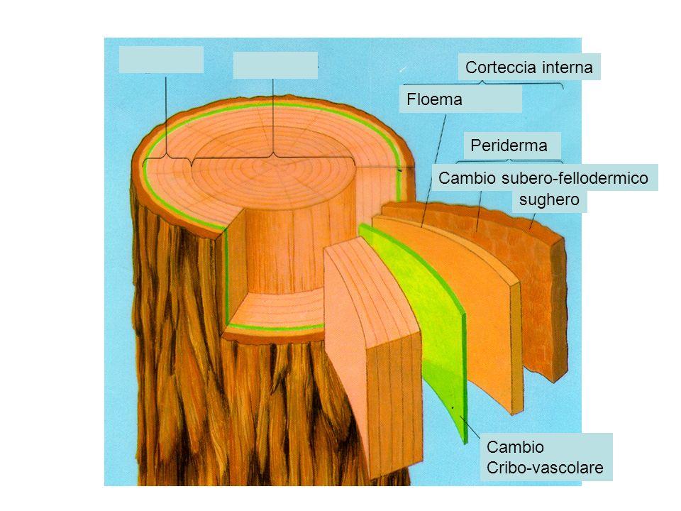 Corteccia interna Floema Periderma Cambio subero-fellodermico sughero Cambio Cribo-vascolare