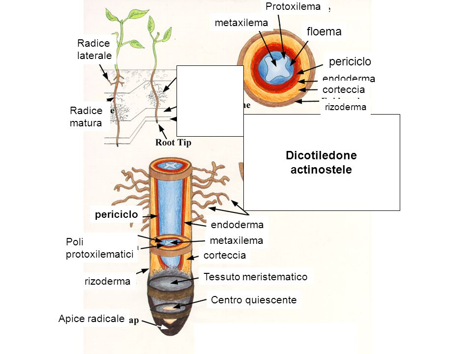 periciclo Poli protoxilematici rizoderma Apice radicale endoderma metaxilema corteccia Tessuto meristematico Centro quiescente Radice laterale Radice