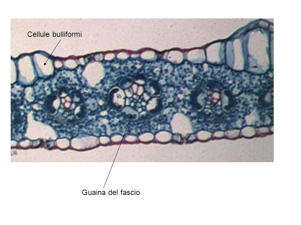 Guaina del fascio Cellule bulliformi