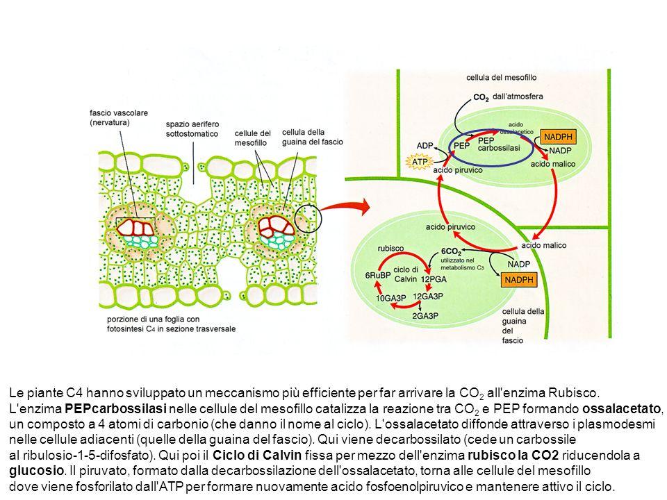 Le piante C4 hanno sviluppato un meccanismo più efficiente per far arrivare la CO 2 all enzima Rubisco.