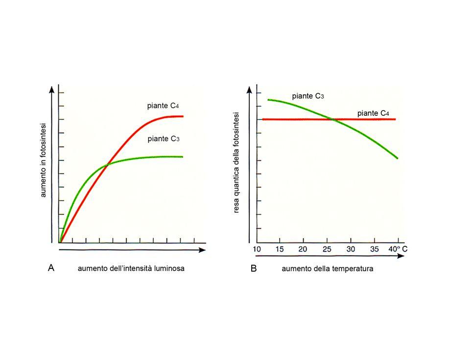 Piante CAM – Metabolismo Acido delle Crassulaceae: consente di ottimizzare l attività fotosintetica in ambienti estremi, ad esempio nei deserti.