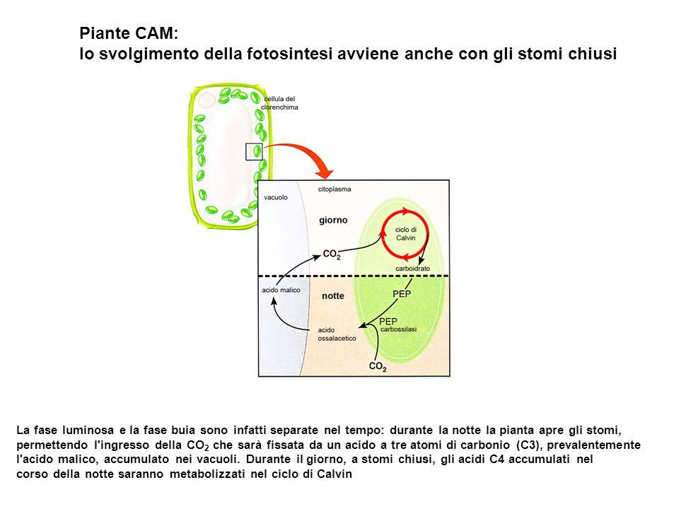 Piante CAM: lo svolgimento della fotosintesi avviene anche con gli stomi chiusi La fase luminosa e la fase buia sono infatti separate nel tempo: durante la notte la pianta apre gli stomi, permettendo l ingresso della CO 2 che sarà fissata da un acido a tre atomi di carbonio (C3), prevalentemente l acido malico, accumulato nei vacuoli.