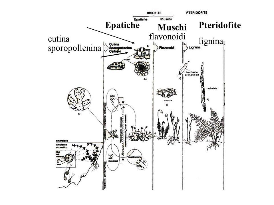 Epatiche Muschi Pteridofite cutina sporopollenina flavonoidi lignina