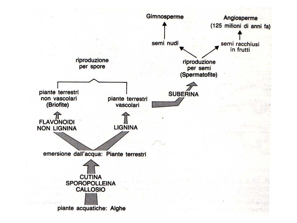 anteridio archegonio Cellula uovo