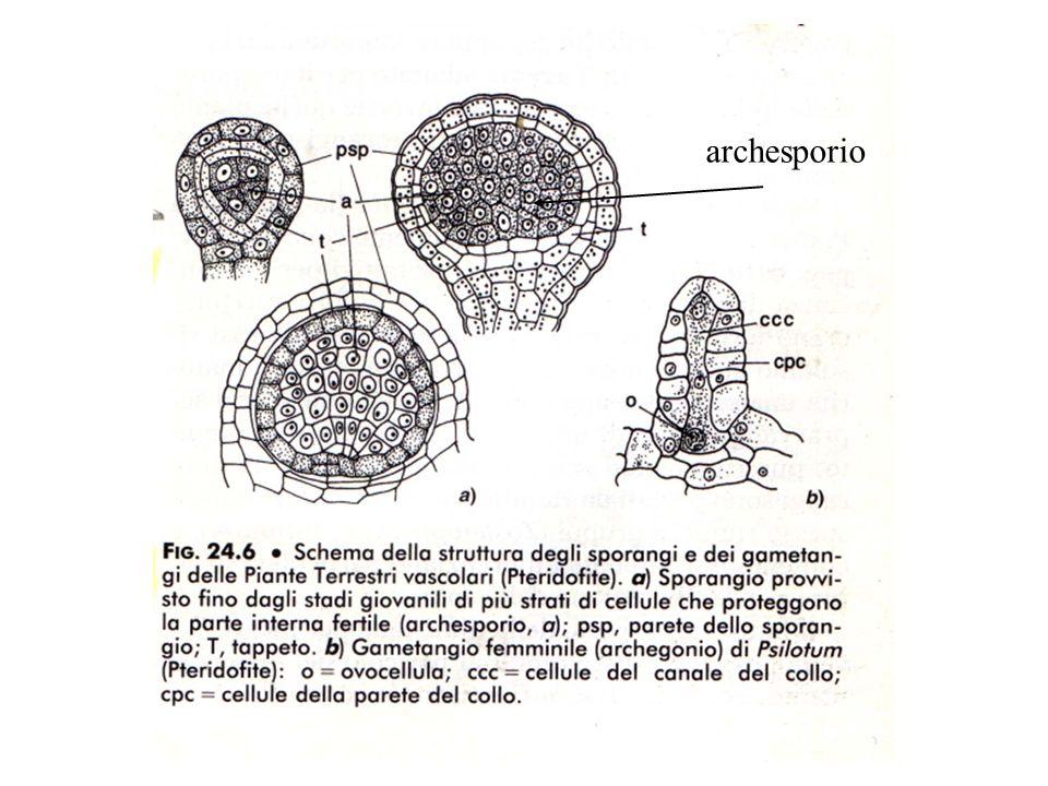 archesporio