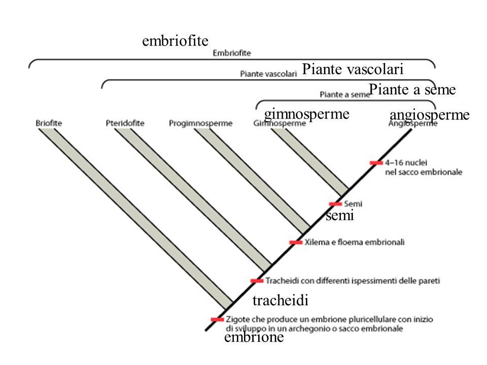 gimnosperme angiosperme Piante a seme Piante vascolari embriofite tracheidi semi embrione