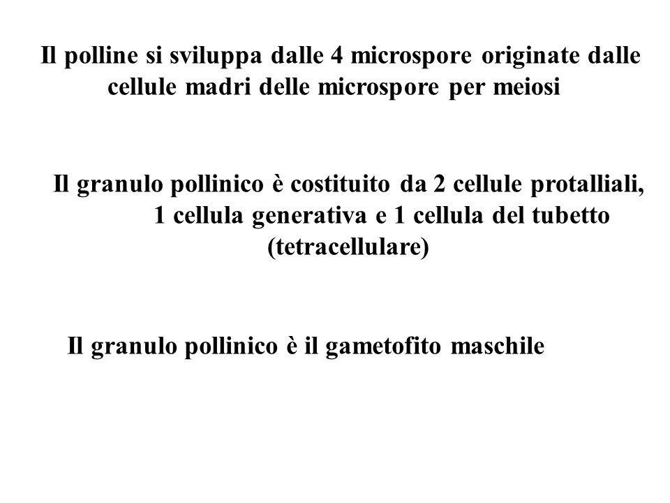 Il polline si sviluppa dalle 4 microspore originate dalle cellule madri delle microspore per meiosi Il granulo pollinico è costituito da 2 cellule pro