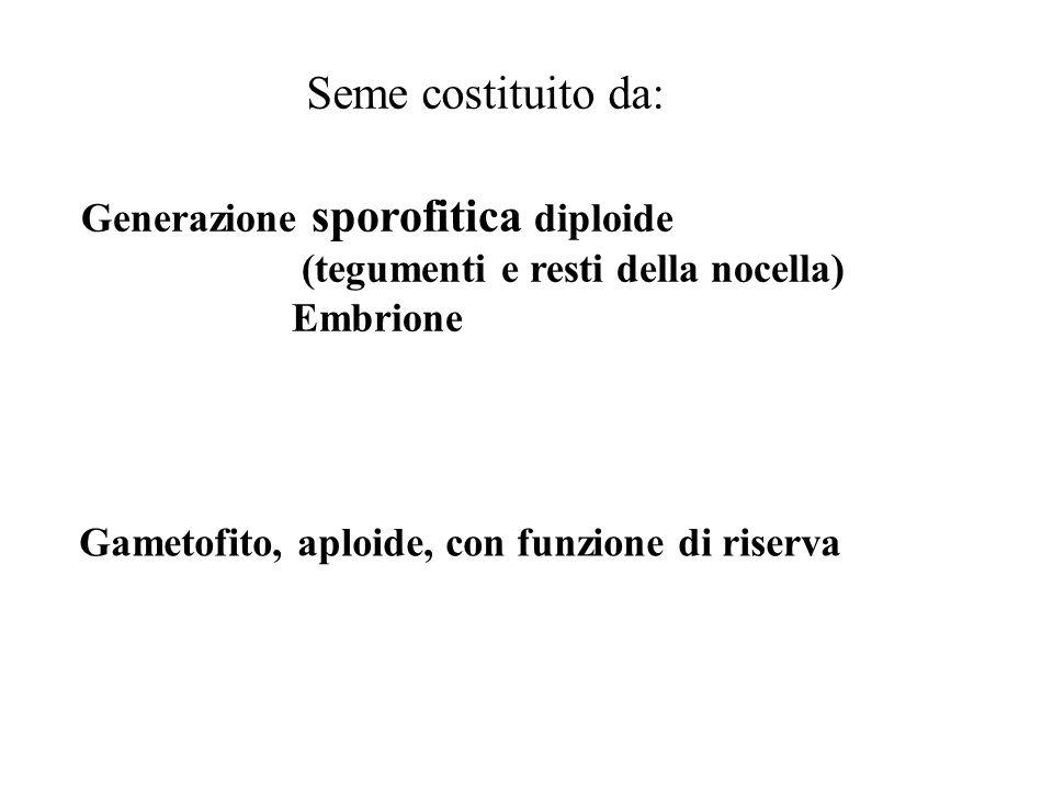 Seme costituito da: Generazione sporofitica diploide (tegumenti e resti della nocella) Embrione Gametofito, aploide, con funzione di riserva