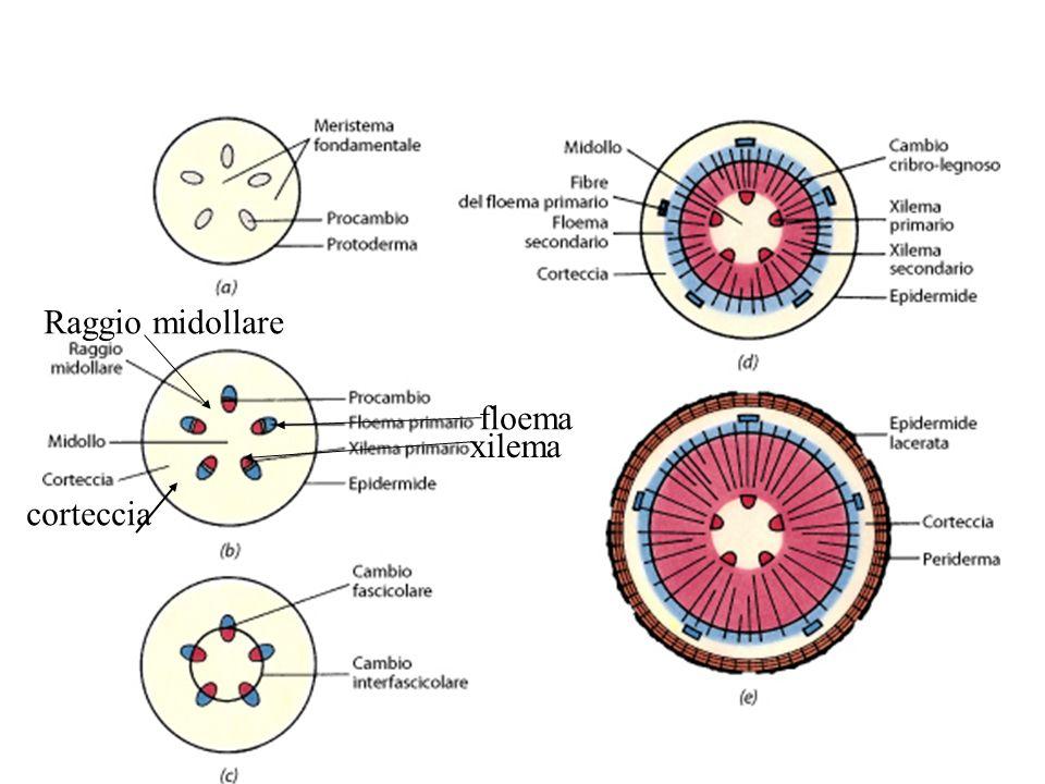floema xilema Raggio midollare corteccia