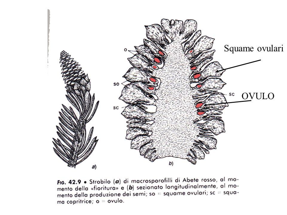 Squame ovulari OVULO