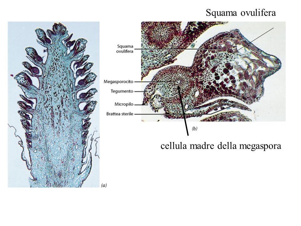 Squama ovulifera cellula madre della megaspora