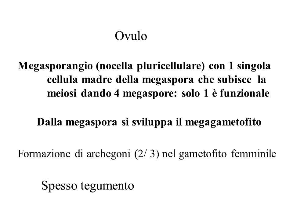 Ovulo Megasporangio (nocella pluricellulare) con 1 singola cellula madre della megaspora che subisce la meiosi dando 4 megaspore: solo 1 è funzionale