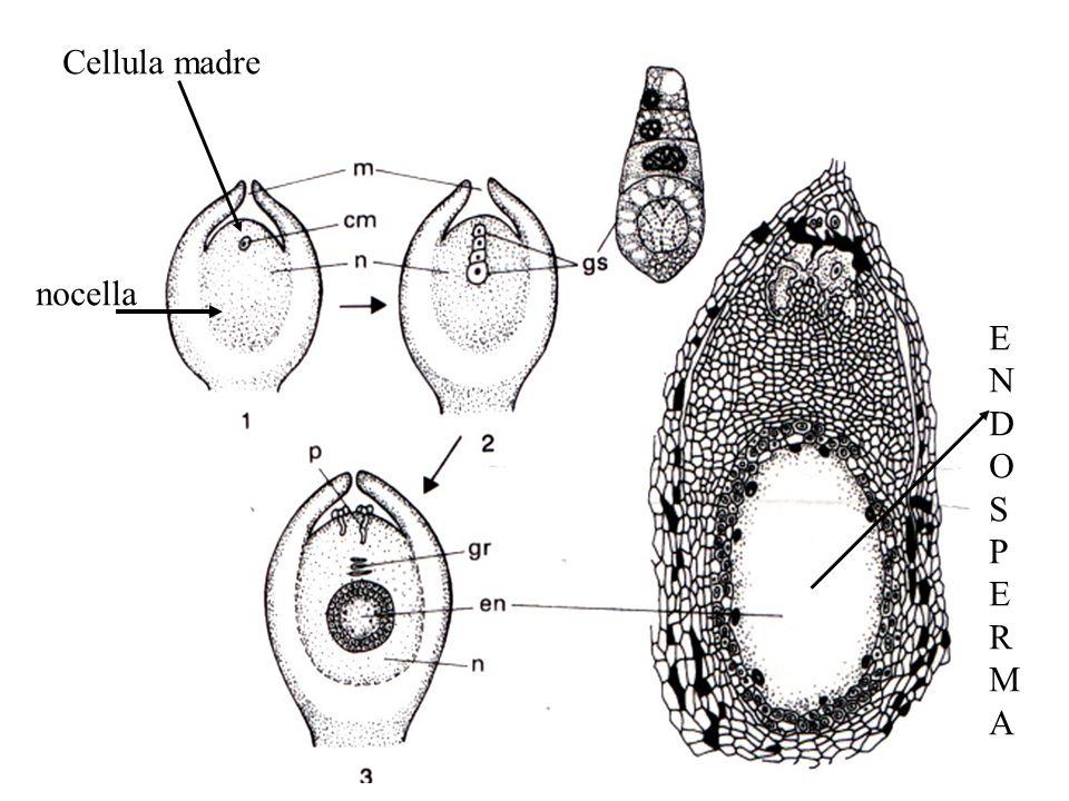 ENDOSPERMAENDOSPERMA nocella Cellula madre