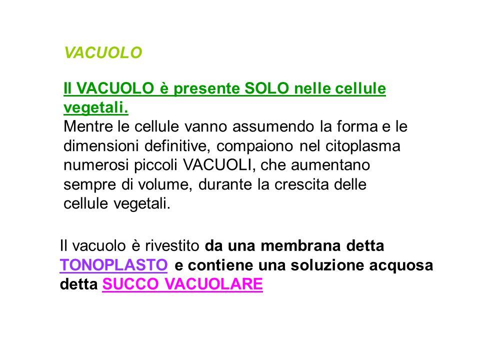 VACUOLO Il VACUOLO è presente SOLO nelle cellule vegetali. Mentre le cellule vanno assumendo la forma e le dimensioni definitive, compaiono nel citopl