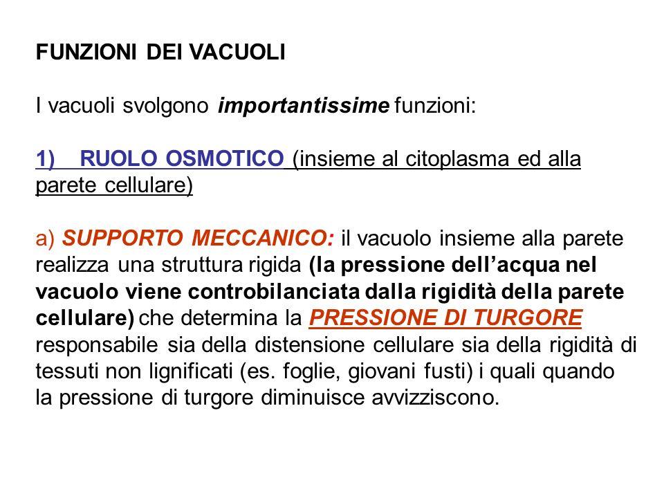 FUNZIONI DEI VACUOLI I vacuoli svolgono importantissime funzioni: 1) RUOLO OSMOTICO (insieme al citoplasma ed alla parete cellulare) a) SUPPORTO MECCA