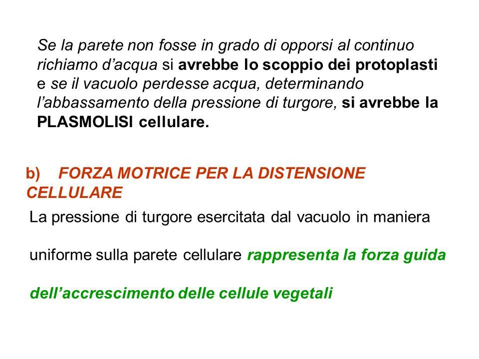 b) FORZA MOTRICE PER LA DISTENSIONE CELLULARE La pressione di turgore esercitata dal vacuolo in maniera uniforme sulla parete cellulare rappresenta la