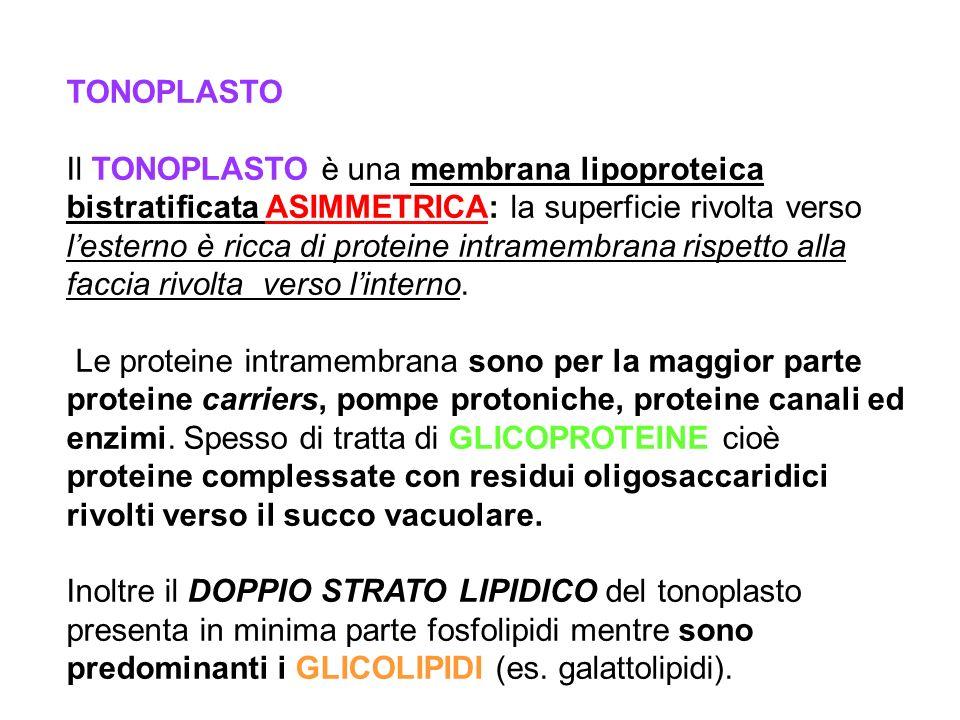 TONOPLASTO Il TONOPLASTO è una membrana lipoproteica bistratificata ASIMMETRICA: la superficie rivolta verso lesterno è ricca di proteine intramembran