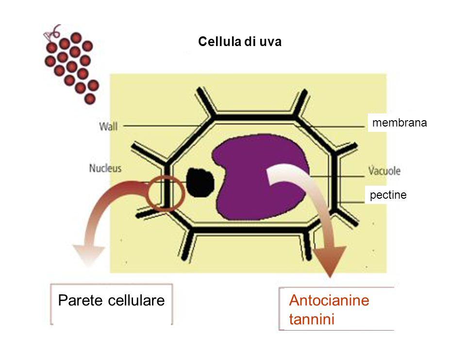 Cellula di uva Antocianine tannini Parete cellulare pectine membrana