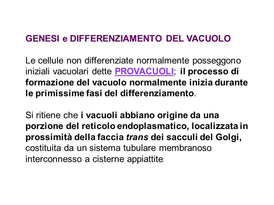 GENESI e DIFFERENZIAMENTO DEL VACUOLO Le cellule non differenziate normalmente posseggono iniziali vacuolari dette PROVACUOLI; il processo di formazio