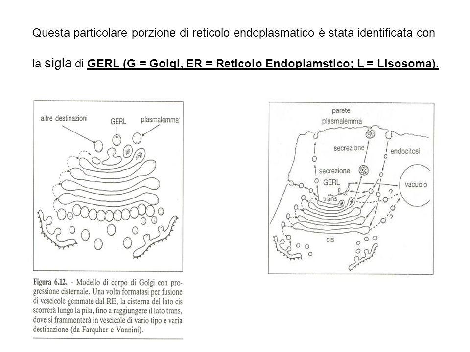 Questa particolare porzione di reticolo endoplasmatico è stata identificata con la sigla di GERL (G = Golgi, ER = Reticolo Endoplamstico; L = Lisosoma