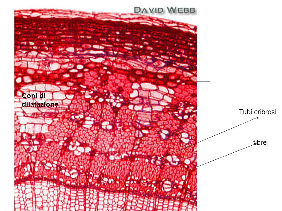 fibre Tubi cribrosi Coni di dilatazione