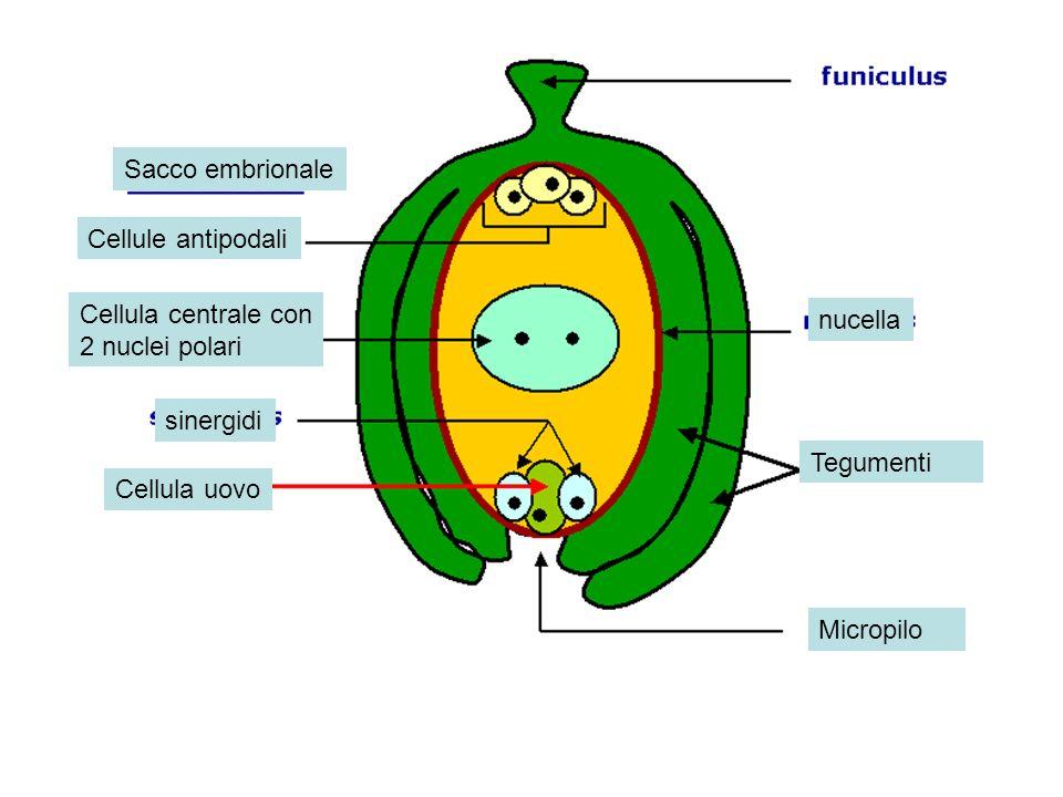 Cellule antipodali Cellula centrale con 2 nuclei polari sinergidi Cellula uovo nucella Tegumenti Micropilo Sacco embrionale