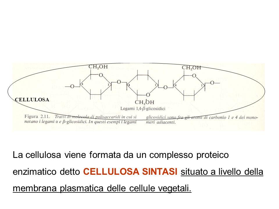 CELLULOSA AMIDO La cellulosa viene formata da un complesso proteico enzimatico detto CELLULOSA SINTASI situato a livello della membrana plasmatica delle cellule vegetali.
