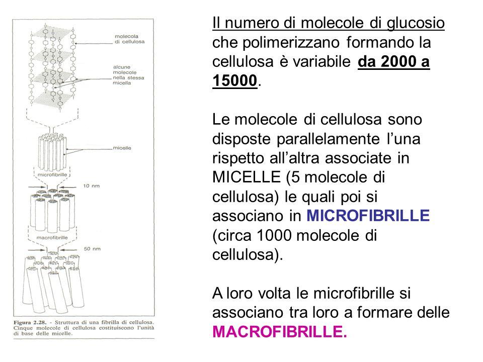 Il numero di molecole di glucosio che polimerizzano formando la cellulosa è variabile da 2000 a 15000. Le molecole di cellulosa sono disposte parallel