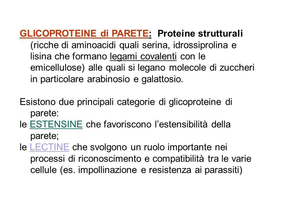 GLICOPROTEINE di PARETE: Proteine strutturali (ricche di aminoacidi quali serina, idrossiprolina e lisina che formano legami covalenti con le emicellu