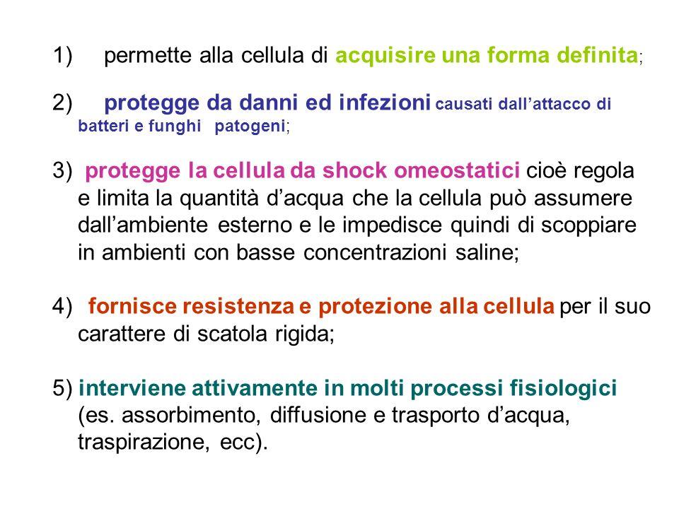 1) permette alla cellula di acquisire una forma definita ; 2) protegge da danni ed infezioni causati dallattacco di batteri e funghi patogeni; 3) protegge la cellula da shock omeostatici cioè regola e limita la quantità dacqua che la cellula può assumere dallambiente esterno e le impedisce quindi di scoppiare in ambienti con basse concentrazioni saline; 4) fornisce resistenza e protezione alla cellula per il suo carattere di scatola rigida; 5) interviene attivamente in molti processi fisiologici (es.