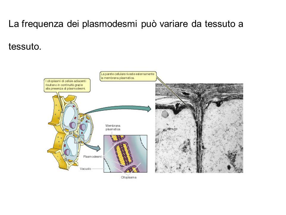 La frequenza dei plasmodesmi può variare da tessuto a tessuto.