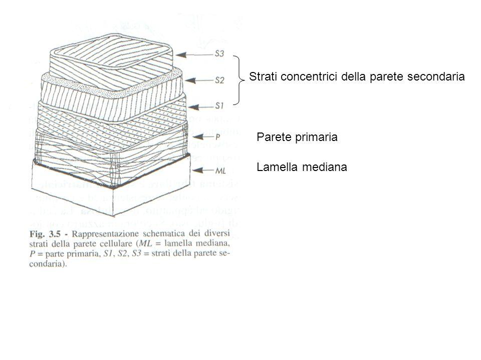 Strati concentrici della parete secondaria Parete primaria Lamella mediana