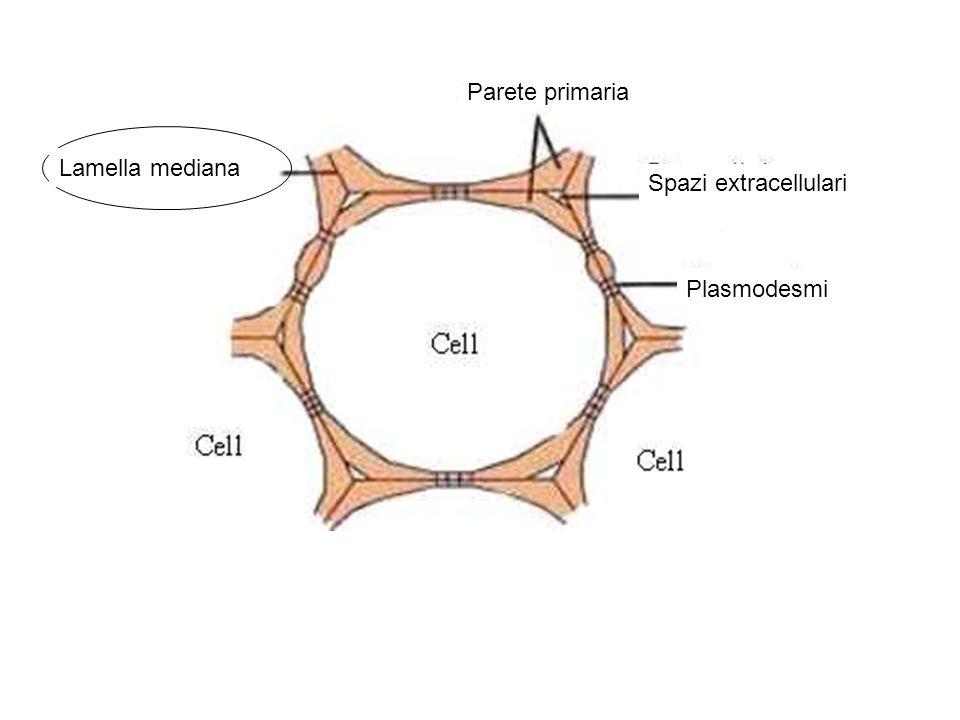 PARETE CELLULARE LAMELLA MEDIANA (comune tra 2 cellule contigue): SOSTANZE PECTICHE + proteine strutturali ed enzimatiche, NO CELLULOSA PARETE PRIMARIA (accrescimento embrionale e per distensione; si forma a ridosso della lamella mediana): 1) MATERIALE FIBRILLARE (cellulosa nelle piante superiori, chitina nei funghi); 2) MATRICE: H2O (70% del peso fresco); emicellulose, sostanze pectiche, proteine e lipidi
