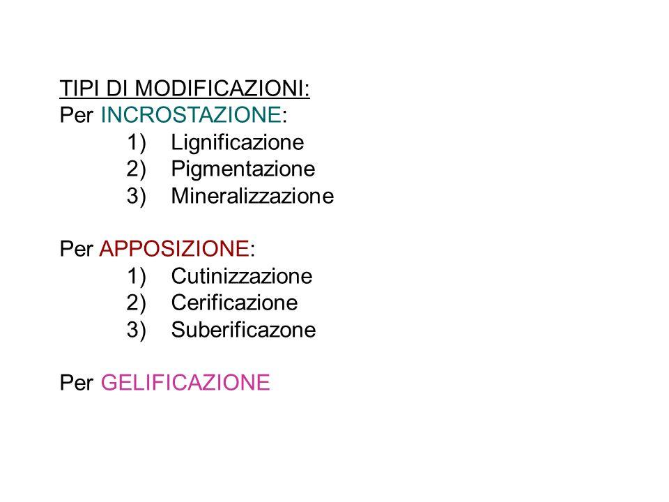 TIPI DI MODIFICAZIONI: Per INCROSTAZIONE: 1) Lignificazione 2) Pigmentazione 3) Mineralizzazione Per APPOSIZIONE: 1) Cutinizzazione 2) Cerificazione 3) Suberificazone Per GELIFICAZIONE