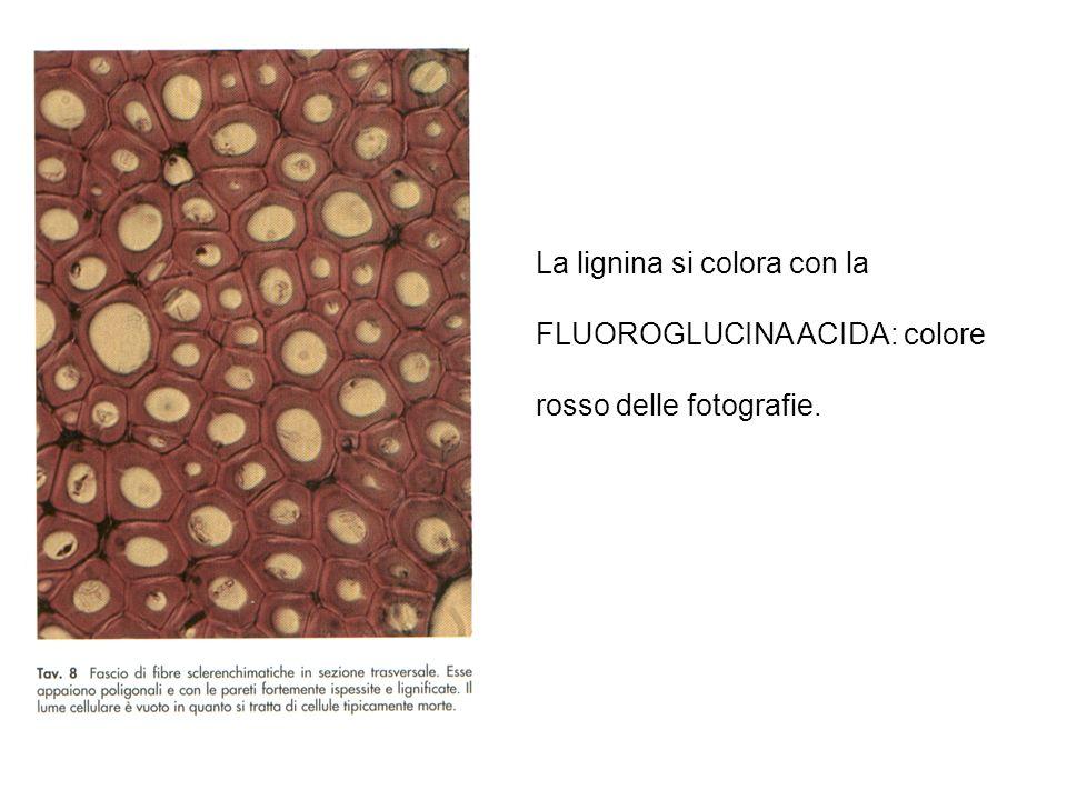 La lignina si colora con la FLUOROGLUCINA ACIDA: colore rosso delle fotografie.