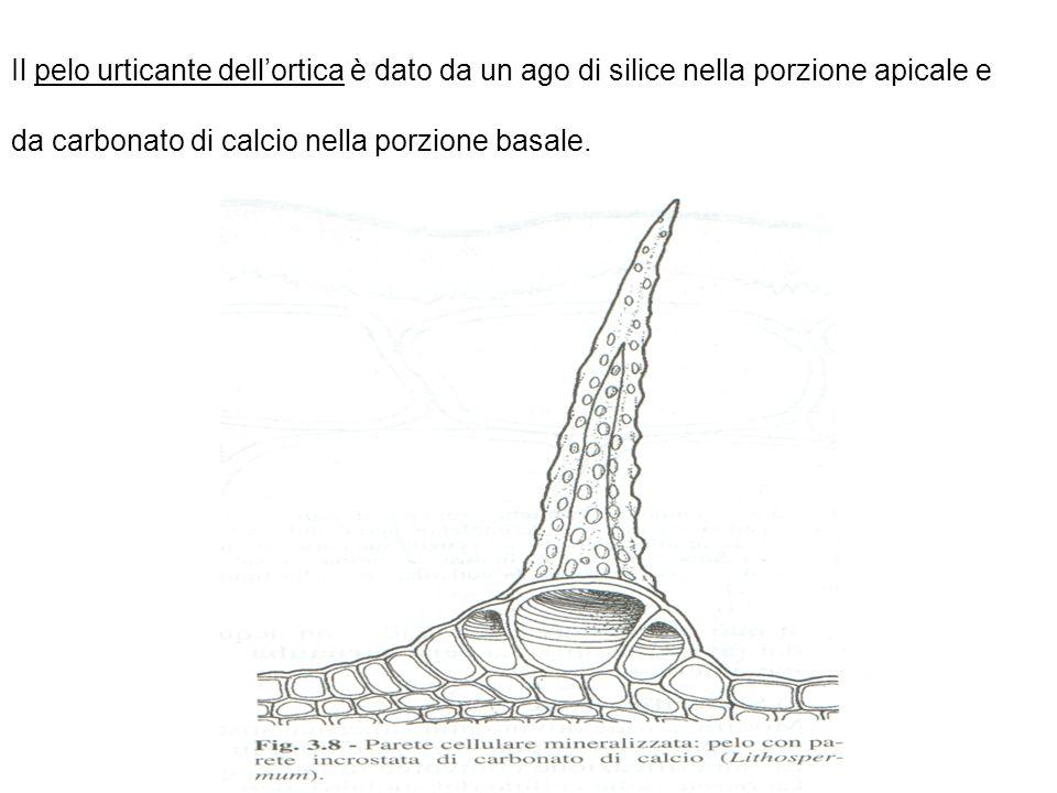 Il pelo urticante dellortica è dato da un ago di silice nella porzione apicale e da carbonato di calcio nella porzione basale.