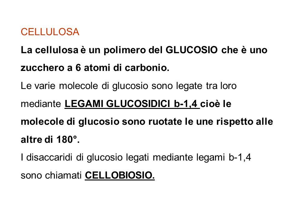 CELLULOSA La cellulosa è un polimero del GLUCOSIO che è uno zucchero a 6 atomi di carbonio. Le varie molecole di glucosio sono legate tra loro mediant