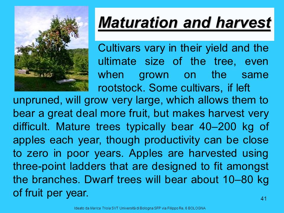 41 Cultivars vary in their yield and the ultimate size of the tree, even when grown on the same rootstock. Some cultivars, if left Maturation and harv