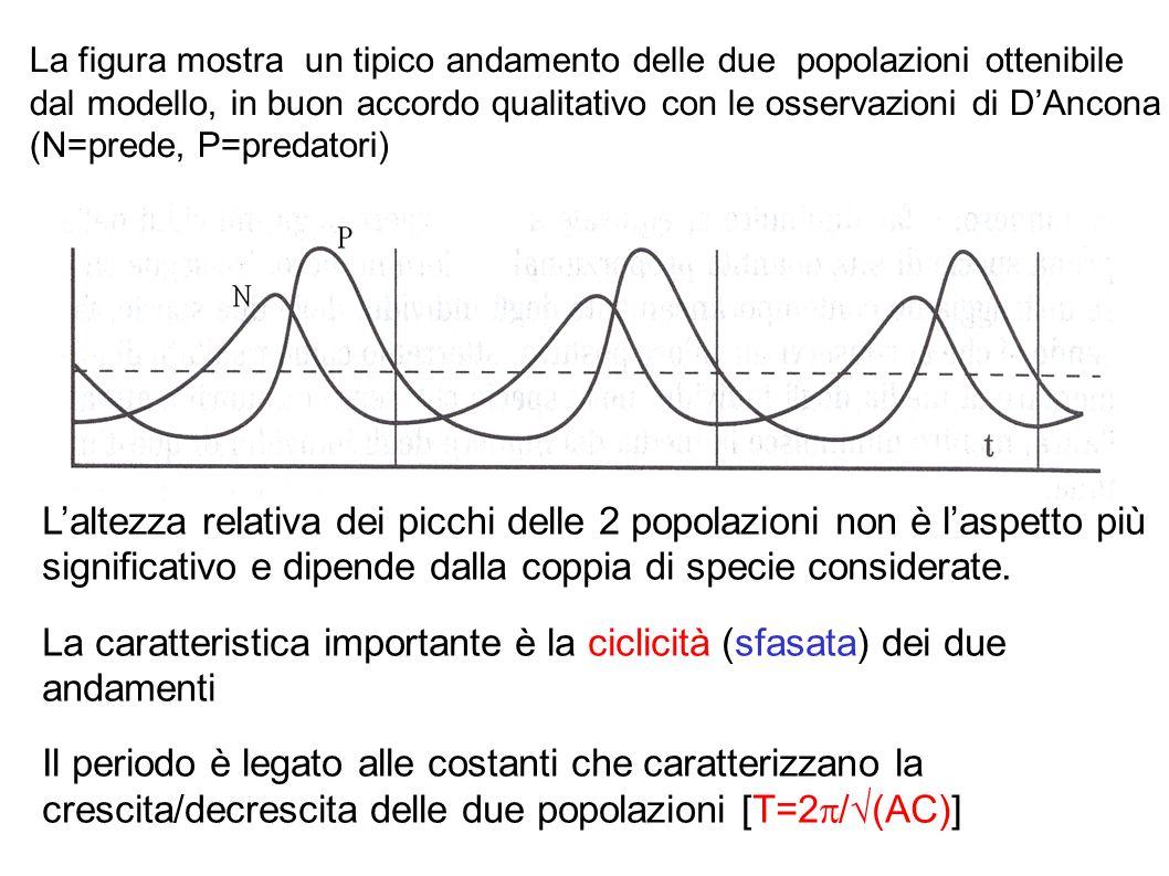 Analisi del modello Equilibrio: in particolari condizioni le due popolazioni possono rimanere costanti ( N TOT =0; P TOT =0) AN 0 BN 0 P 0 =0 CP 0 +DN 0 P 0 =0 Risolvendo il sistema si ottengono due possibili soluzioni: N 0 =0; P 0 =0 corrisponde all assenza delle due specie N 0 =C/D; P 0 =A/B l interazione prede-predatori produce effetti esattamente contrari a quelli della loro crescita-decrescita spontanea Oscillazioni: in assenza di equilibrio le popolazioni oscillano con uno sfasamento di circa π/2 (¼ di periodo) attorno al punto di equilibrio (N 0 =C/D; P 0 =A/B)