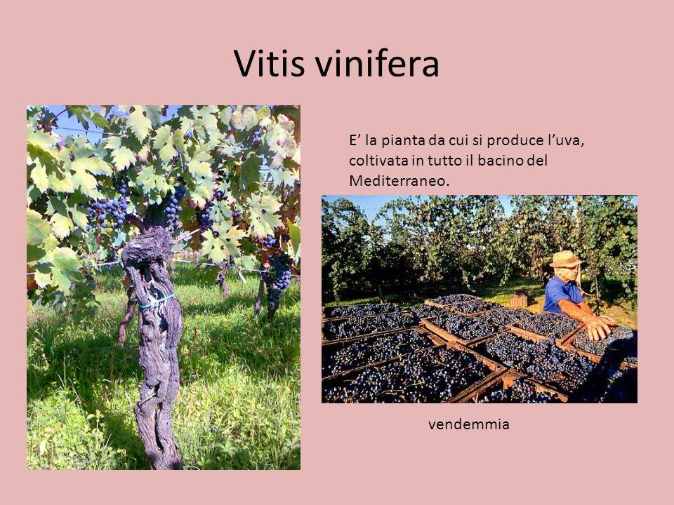 Vitis vinifera E la pianta da cui si produce luva, coltivata in tutto il bacino del Mediterraneo. vendemmia